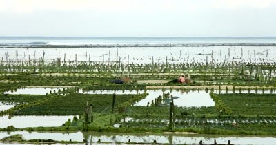 Wide shot of Seaweed Farmers working on their crops.