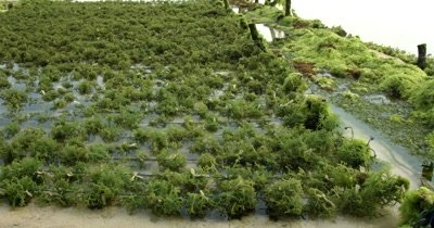 Medium shot panning across cultivated seaweed tied up in rows.