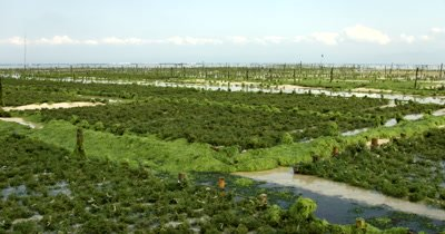 Wide shot of the sea weed farms,Eucheuma spp