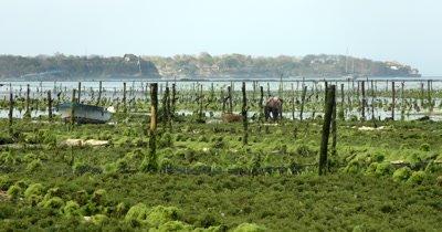 Medium Shot  Of  Seaweed Farmers working on their crops,Eucheuma spp