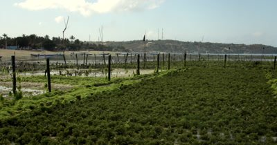 Wide Shot over Seaweed farming  crops,Eucheuma spp
