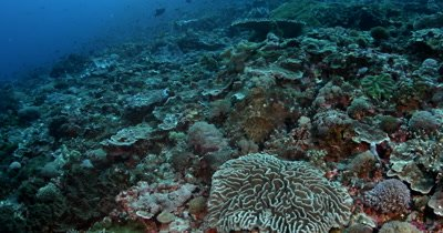 Wide shot of a well camouflaged Day Octopus, Octopus cyanea, on the coral reef