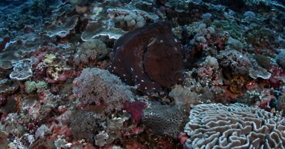 Medium shot of a well camouflaged Large Day Octopus, Octopus cyanea, on the coral reef breathing heavily and changing color