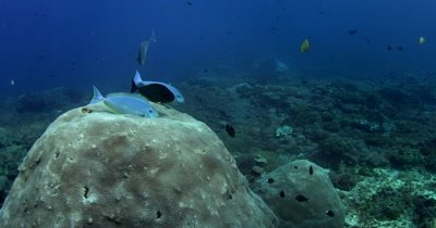A  Surgeonfish,Acanthurus spp at a cleaning station, being cleaned by cleaner Wrasse, Labridae spp.