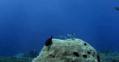 Two  Surgeonfish,Acanthurus spp at a cleaning station, being cleaned by cleaner Wrasse, Labridae spp.