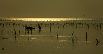 Wide Shot, at Sunset, of a Seaweed Farmer working on his crops,Eucheuma spp.