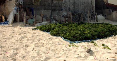 A pan from harvested  Seaweed,Eucheuma spp, drying in the sun, across to  the rural village.