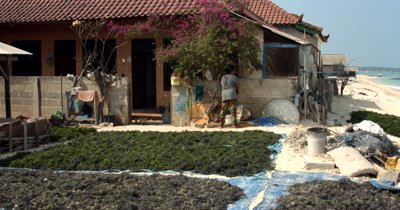 A wide shot across drying harvested Seaweed,Eucheuma spp, while a villager does her daily washing.