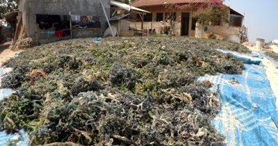 A Medium shot across drying harvested Seaweed,Eucheuma spp,