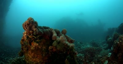 A reaveal of a Golden Batfish ,Spadefish,  Platax boersii at the Iro Maru wreck