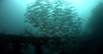 A large school of Big eye Trevally, Caranx sexfasciatus  at the Iro Maru wreck