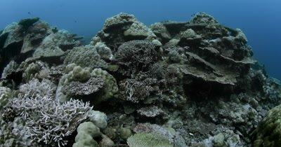 Beauty shot of Hard Stony corals in Palau