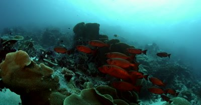 A school of bright Red Crescent-Tail Bigeye,Google-Eye; Priacanthus hamrur Fish