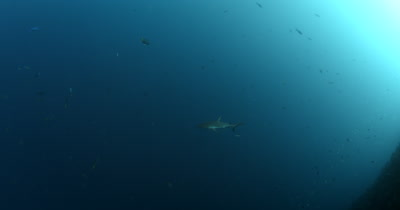 A Gray Reef Shark,Carcharhinus amblyrhynchos swims past .