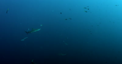 Four Gray Reef Sharks, Carcharhinus amblyrhynchos swim in the blue sea .