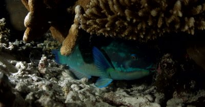 A Parrotfish, Scarus spp sleeps in its mucous cocoon.