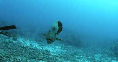 Close up of a Napoleon Wrasse, Humphead Wrasse, Cheilinus undulatus heading  Strait towards the camera