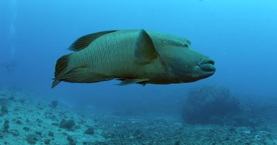 Close up of a Napoleon Wrasse, Humphead Wrasse, Cheilinus undulatus hovering in front of the camera