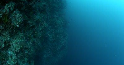Vertical Reveal of a large white Sea Fan, Gorgonian Fan, Iciligorgia schrammi