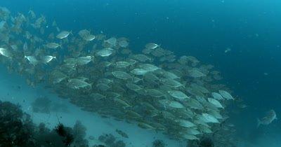 A large school of Bigeye Scad, Selar crumenophthalmus