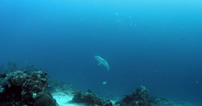 A Gray Reef Shark, Carcharhinus amblyrhynchos swims over the coral reef