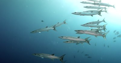 A school of Blackfin Barracuda,  Sphyraena qenie, swim past the camera.