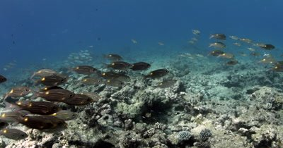 A school of Yellowspot Emperor , Striped Large-eye Bream  Gnathodentex aurolineatus, swim over the reef