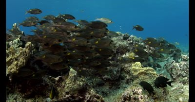 A school of Yellowspot Emperor , Striped Large-eye Bream  Gnathodentex aurolineatus, hover over the reef