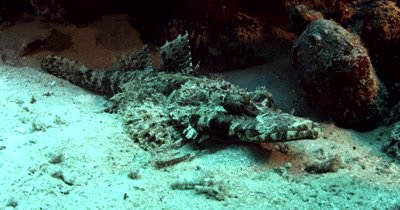 Full body shot  of a Beautford's Crocodilefish,Crocodile Flathead,Cymbacephalus beauforti