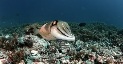 A close up shot of a Cuttlefish, Sepia spp floating over hard coral  with pulsating/changing colours