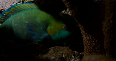Night shot of a Parrotfish hiding in a coral resess