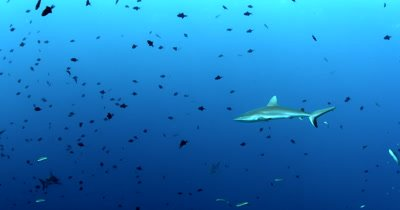 Four Gray Reef Sharks, Carcharhinus amblyrhynchos glide in the blue sea through a large school of  Redtooth Triggerfish ,Odonus niger