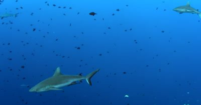 Three Gray Reef Sharks, Carcharhinus amblyrhynchos glide in the blue sea through a large school of  Redtooth Triggerfish ,Odonus niger
