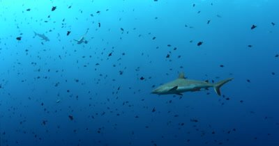 Six Gray Reef Sharks, Carcharhinus amblyrhynchos glide in the blue sea through a large school of  Redtooth Triggerfish ,Odonus niger