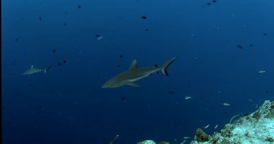 Two Gray Reef Sharks, Carcharhinus amblyrhynchos glide in the blue sea through a large school of  Redtooth Triggerfish ,Odonus niger