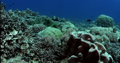 A reveal over the coral reef of a Giant Clam,Tridacna gigas