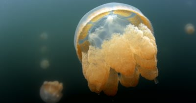 Close up of an undulating Golden Jellyfish,Mastigias papua etpisoni in Jellyfish lake on Eil Malk island,Koror, Palau ,(fifth Lake)