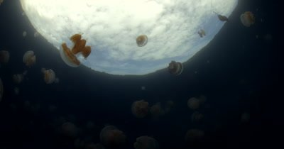 Pulsating  Golden Jellyfish,Mastigias papua etpisoni with a view of the waters edge and reflections of the sky and clouds, in Jellyfish lake  (fifth Lake)on Eil Malk island,Koror, Palau
