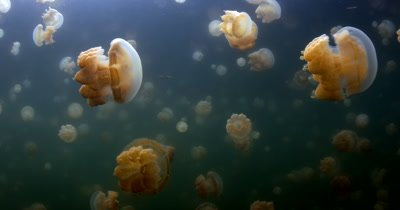 Pulsating  Golden Jellyfish,Mastigias papua etpisoni in Jellyfish lake(fifth Lake)on Eil Malk island,Koror, Palau