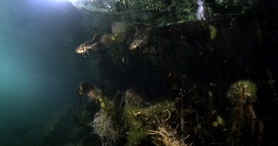 Two orbiculate Cardinalfish, Sphaeramia orbicularis in Jellyfish lake(fifth Lake) on the mangrove tree roots on Eil Malk island,Koror, Palau