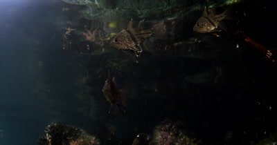 Orbiculate Cardinalfish, Sphaeramia orbicularis in Jellyfish lake(fifth Lake) on the mangrove tree roots on Eil Malk island,Koror, Palau