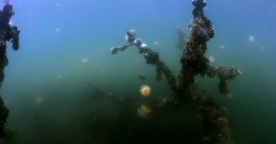 Pulsating  Golden Jellyfish,Mastigia around mangrove tree roots in Jellyfish lake(fifth Lake) Eil Malk island,Koror, Palau