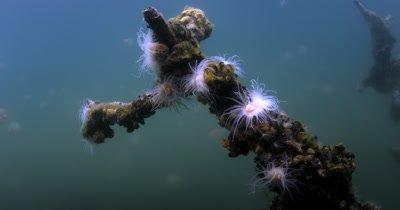 Sea anemone,  in Jellyfish lake(fifth Lake), on Eil Malk island,Koror, Palau