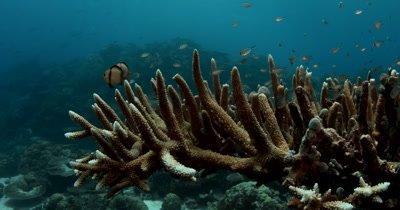 A medium shot of a school of Ternate chromis,Damselfish , Chromis termatensis on  Hard Staghorn Coral , Acropora spp.