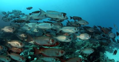 A school of Crescent Tail Bigeye fish swim past the camera,Priacanthus hamrur