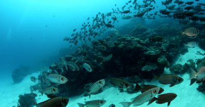 The camera passes through a school of Crescent Tail Bigeye fish ,Priacanthus hamrur