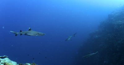 Two Whitetip Reefshark, Triaenodon obesus and a  Gray Reef sharks,Carcharhinus amblyrhynchos glide in the blue sea.