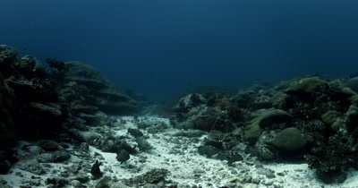 A school of aggressive Groupers, Epinephelus polyphekadion guarding their territory