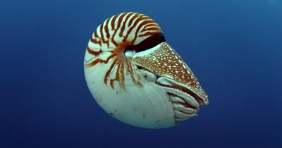 A Nautilus spp. with its Tentacles protruding,propels itself in the blue ocean water
