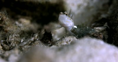 A symbiotic relationship of a glistening white with golden dots Shrimpgoby,Prawngoby,Amblyeleotris spp and a Marbled Cleaner Shrimp,Saron spp that keeps the Gogbies underwater home clean.
